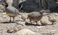 birdman-of-hell-pasos-gambel-quail.jpg