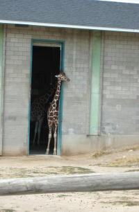 giraffe-easing-out-door.jpg