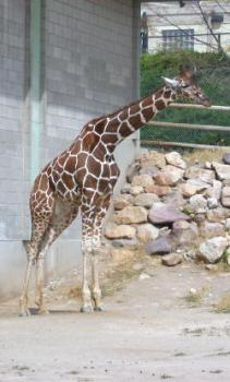 side-giraffe.jpg