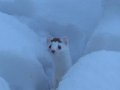 snow-weasel-and-baby-pics-blog.jpg