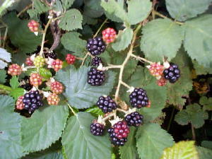 blackberries300x.jpg