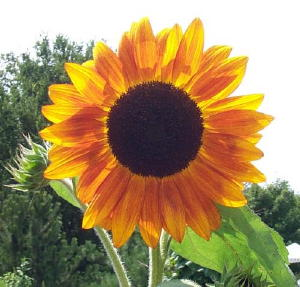 sunflower-300pix.jpg