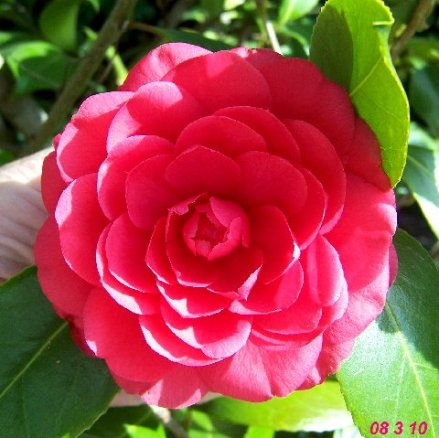 first-red-camellia.jpg