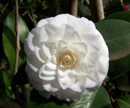 white-camellia.jpg