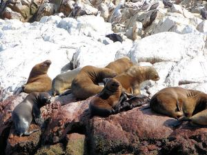 sea-lion-colony-ballestas-islands